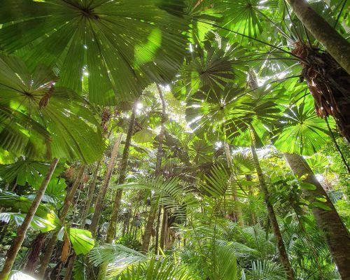 Daintree Fan Palm Canopy