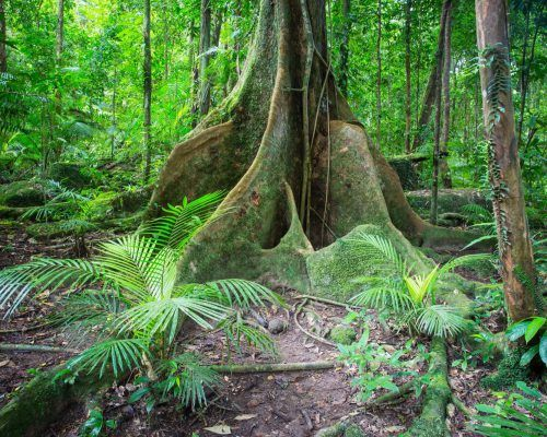 Buttress Roots at Noah Valley Daintree National Park