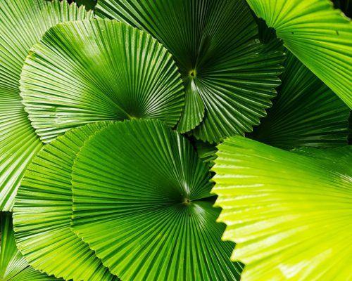 Fan Palms Daintree National Park